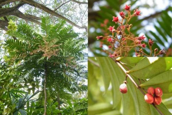 Alipas Ginseng Eurycoma longifolia