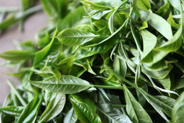 Suoi Giang Shan Tuyet tea leaves